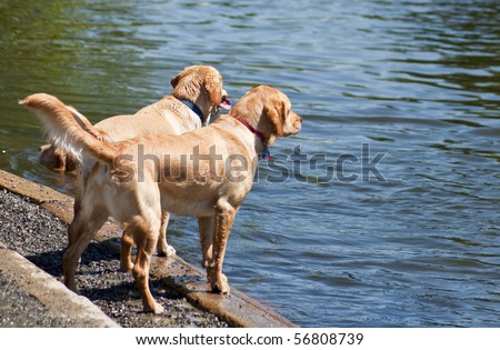 Two Labrador Retriever friends standing together by the water at a dog park