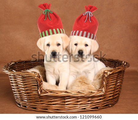 Two labrador retriever puppies wearing Christmas santa hats. - stock photo