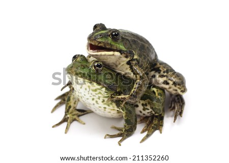 Two lake frog on white background