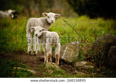 Two lambs - stock photo