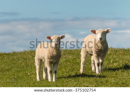 two lambs standing on meadow
