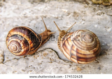 Two land snails face each other on a rock