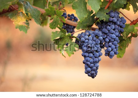 Two large bunches of red wine grapes hang from a vine, warm background color. - stock photo