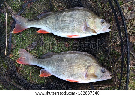 Two large fresh water Perch.