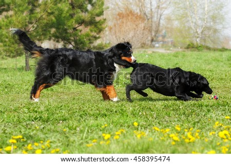 two large, good family dog - the Labrador Retriever and the Bernese mountain dog having fun running and playing summer ball. Funny moment - one caught the other by the tail