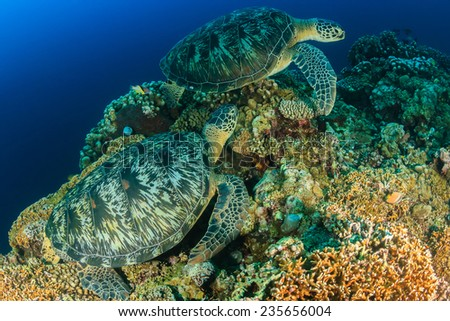 Two large green sea turtles on a tropical coral reef