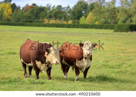 Two large Hereford bulls on a green grass field on a clear day of autumn.