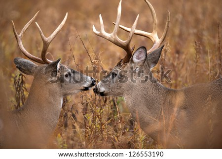 Two large white-tailed deer bucks walking through heavy brush in Smoky Mountain National Park - stock photo