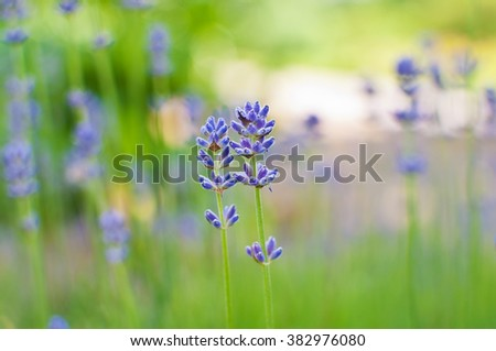Two Lavender flowers on blurred green field. Very shallow depth