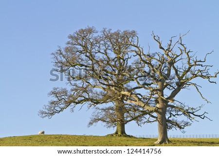 Two leafless winter trees against a blue sky