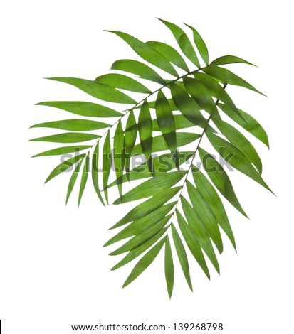 Two leaves of a palm tree isolated on white - stock photo