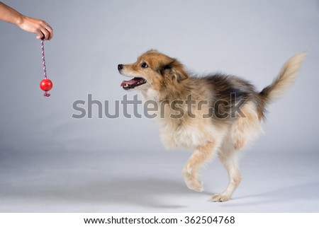 two legged dog running after a toy - studio shot - stock photo