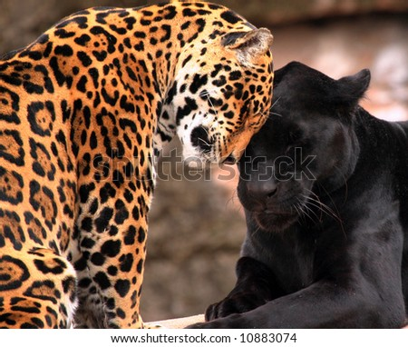 Two leopards showing affection