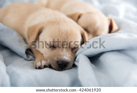 Two Light Colored Mixed Breed Puppies Sleeping on Bed - stock photo