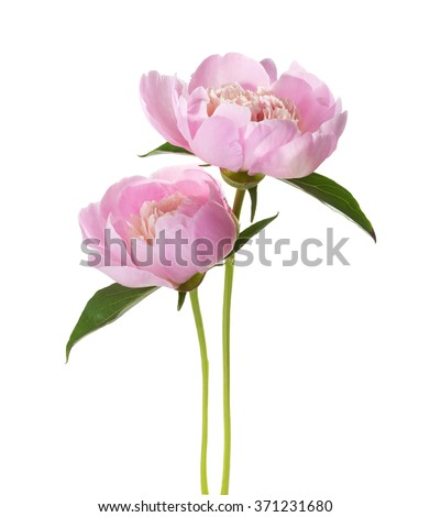 Two light pink peonies  isolated on white background. - stock photo