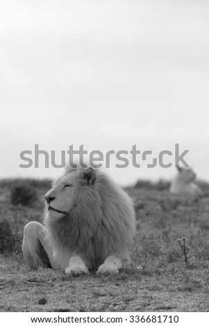 Two lion. A big white male lion and his younger daughter in the background in this black and white image from South Africa - stock photo