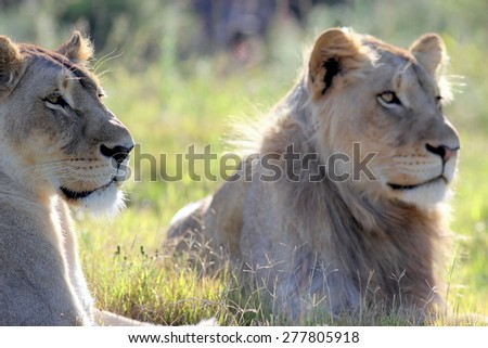 Two lion. A lioness and her younger male son in this black and white image from South Africa - stock photo