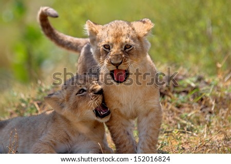 Two Lion babies from Marsh Pride playing, they are 4 weeks, Mother: Jicho, Masai Mara, Kenya - stock photo