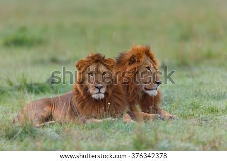 Two Lion brothers in Masai Mara, Kenya - stock photo