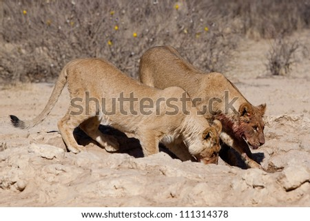 Two lion cubs drinking at a waterhole - stock photo