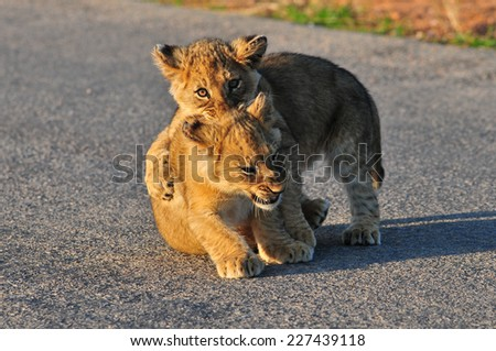Two Lion Cubs playing  - stock photo