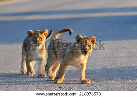 Two Lion Cubs Walking together - stock photo