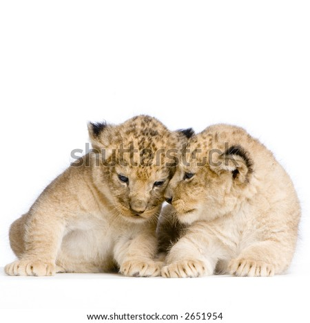 two Lion Cubs  (3 weeks) in front of a white background. All my pictures are taken in a photo studio.