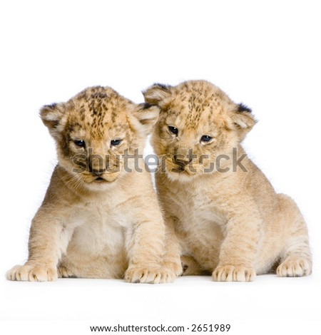 two Lion Cubs  (3 weeks) in front of a white background. All my pictures are taken in a photo studio. - stock photo