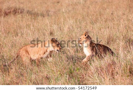 Two Lion (panthera leo) cubs playing in savannah in South Africa - stock photo