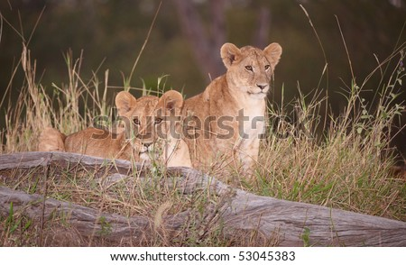 Two Lion (panthera leo) cubs sitting in savannah at night in South Africa - stock photo