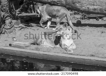 Two Lionesses (black and white) - stock photo