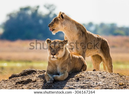 Two lionesses on the hill. Votsvana. An excellent illustration. Africa. Big cats. - stock photo