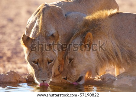 Two lionesses (panthera leo) drinking water fom the water hole in savannah in South Africa
