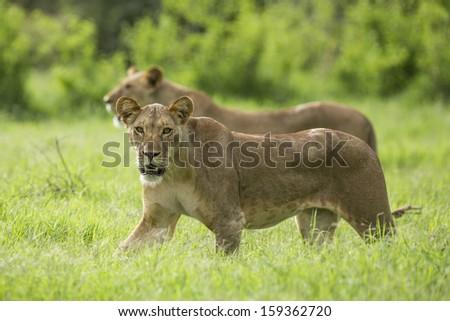 Two Lionesses (Panthera leo) walking in the frsh greenery of Samburu Reserve in Kenya. November - stock photo