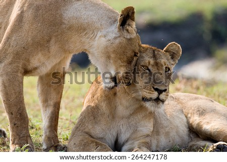 Two lionesses rub against each other. Tenderness. Africa. Zambia. An excellent illustration. - stock photo