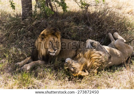 Two lions lying, Serengeti, Tanzania, Africa - stock photo