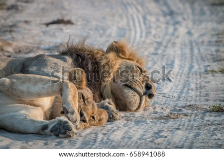 Two Lions sleeping on the road in the Chobe National Park, Botswana.