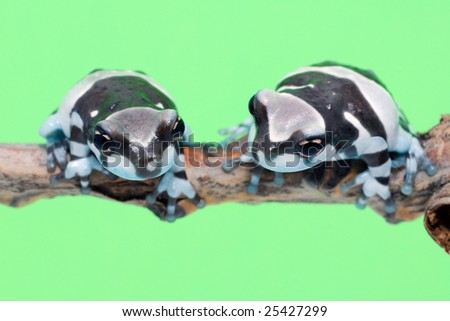 two little amazon milk frogs on the branch - stock photo