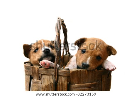 Two little Basenji puppy, 1,5 month, in the box, on the white background