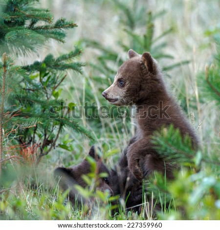 Two little black bears cubs playing - stock photo