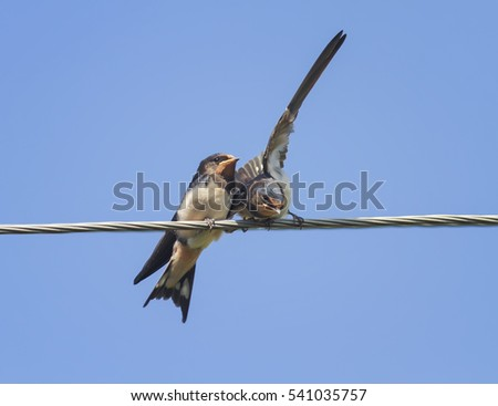 two little black birds swallows sitting on wires open beaks