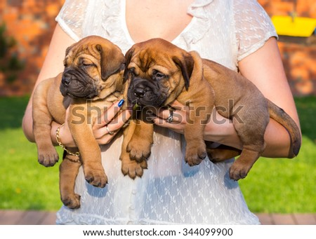 Two little bullmastiff puppy on hands of the woman - stock photo
