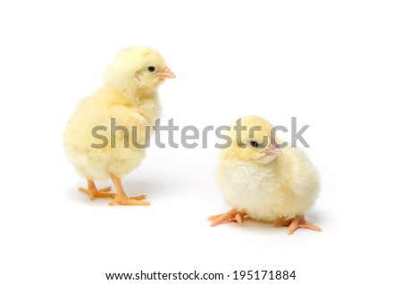 Two Little chicken isolated on white background