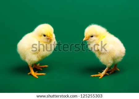 Two little chickens on green background