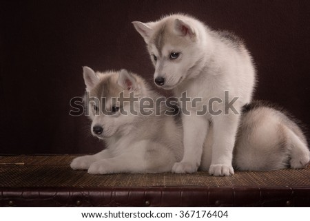 Two Little cute puppy of Siberian husky dog