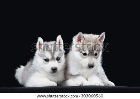 Two Little cute puppy of Siberian husky dog in studio over black - stock photo