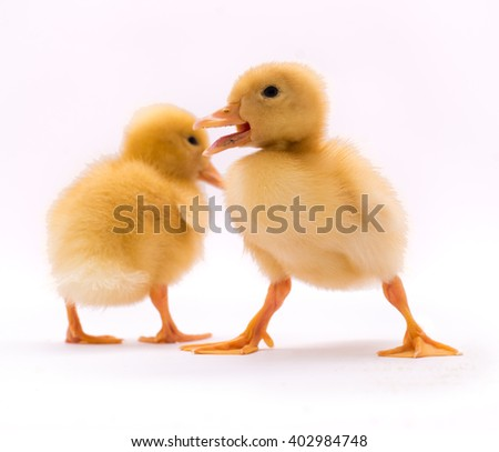 Two little duckling - stock photo
