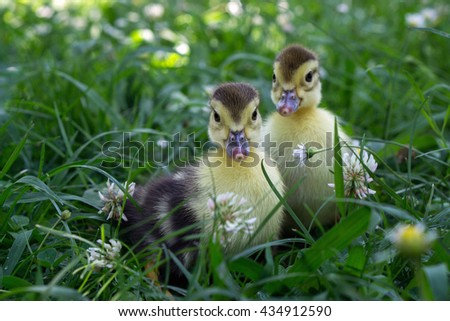 Two little duckling walking in the grass - stock photo