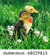 two little ducks on green grass with heart - stock photo