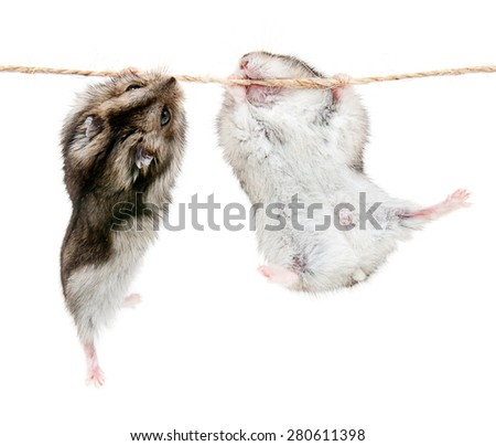 Two little dwarf hamsters on a rope. Studio white background